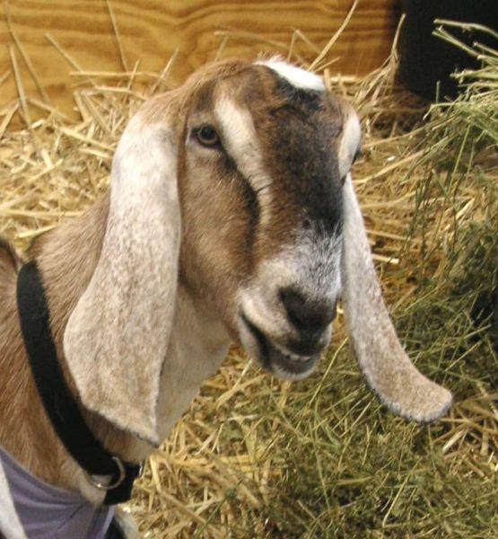 The goat xxx