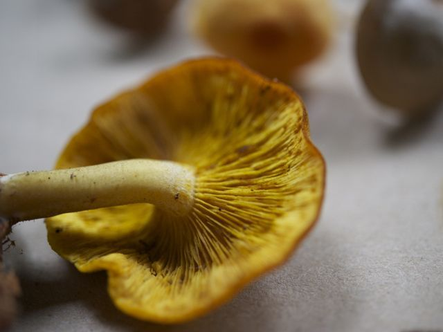 False chanterelle 790 xxx