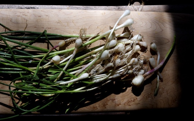 Field garlic1 790 xxx